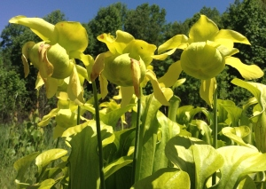Despite producing these large, awesome flowers, the green pitcher plant reproduces mostly asexually through its rhizomes.