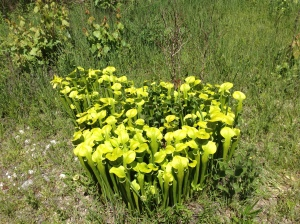 05222015_EllerSeep_PitcherPlants_KVaughn (37)