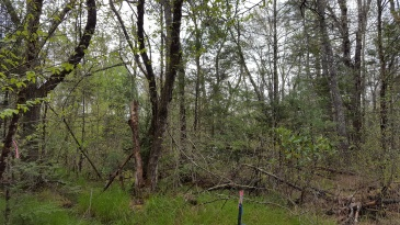Pineola_Bog_Workday_05-09-17 (11)