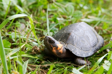 bog-turtle_18553929088_o
