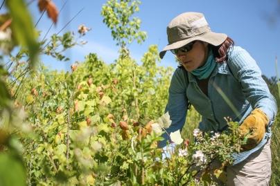 jen-lamb-cuts-a-multi-flora-rose-branch_48754528217_o
