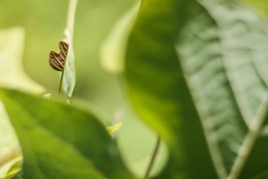 young-tulip-poplar-leaf_48754516352_o